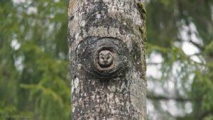 Liigirikkus Vestmani metsas- meil pesitseb laanekakk!